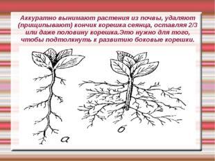 Аккуратно вынимают растения из почвы, удаляют (прищипывают) кончик корешка се