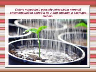 После пикировки рассаду поливают теплой отстоявшейся водой и на 2 дня ставят