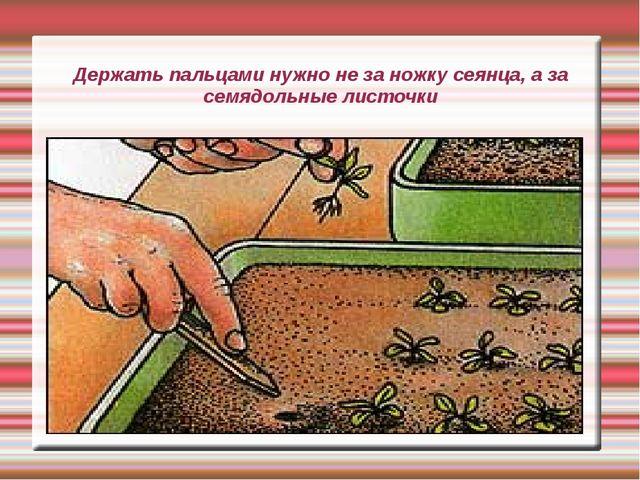 Держать пальцами нужно не за ножку сеянца, а за семядольные листочки