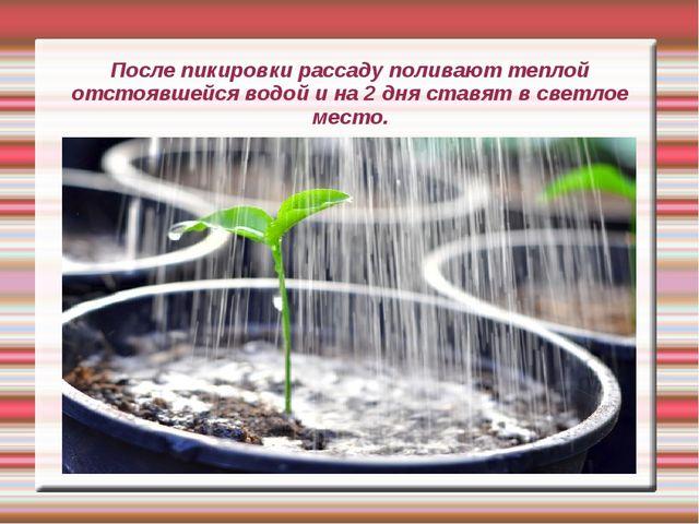 После пикировки рассаду поливают теплой отстоявшейся водой и на 2 дня ставят...