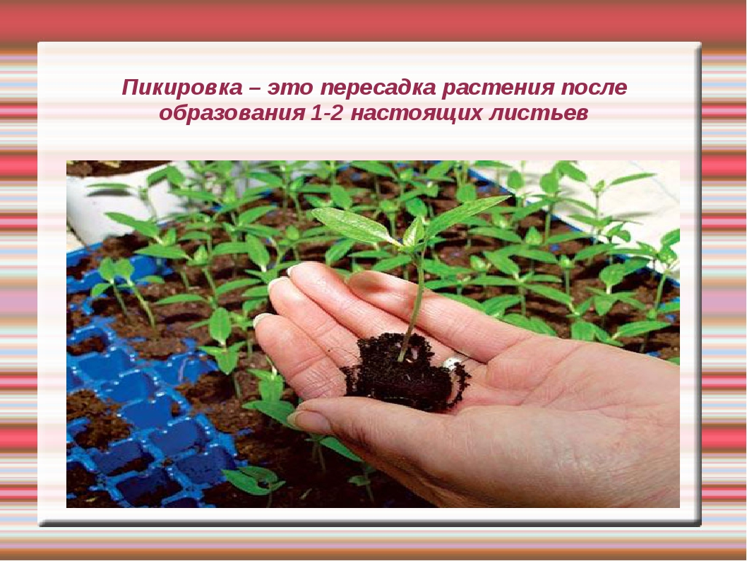 Пикировка – это пересадка растения после образования 1-2 настоящих листьев
