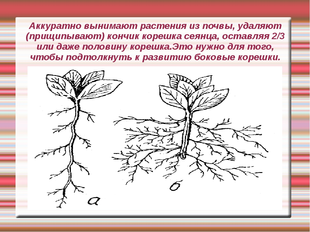 Аккуратно вынимают растения из почвы, удаляют (прищипывают) кончик корешка се...