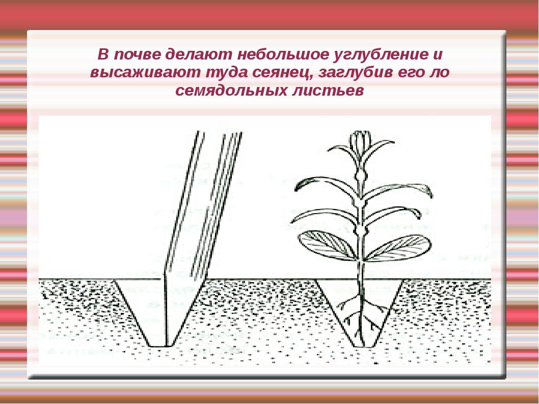В почве делают небольшое углубление и высаживают туда сеянец, заглубив его ло...
