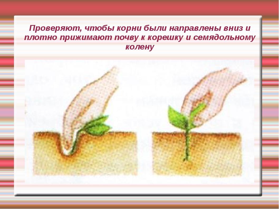 Проверяют, чтобы корни были направлены вниз и плотно прижимают почву к корешк...