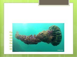 Крупнейшей медузой в мире считается арктическая гигантская медуза, обитающая