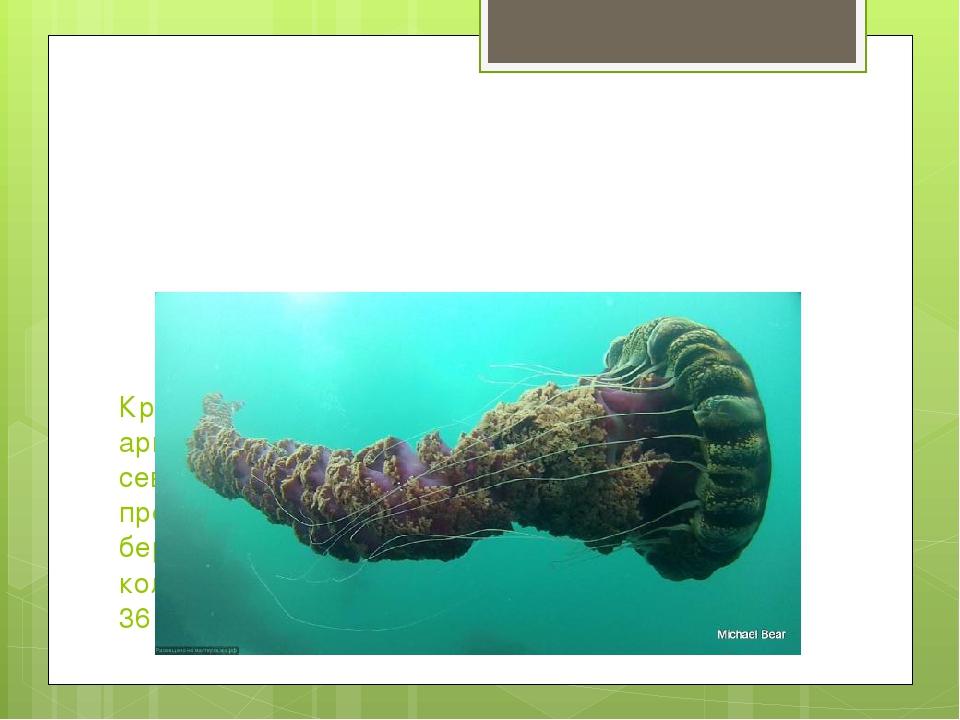 Крупнейшей медузой в мире считается арктическая гигантская медуза, обитающая...