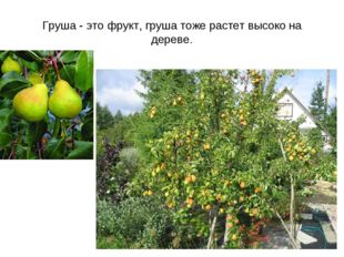 Груша - это фрукт, груша тоже растет высоко на дереве.