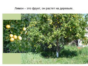 Лимон – это фрукт, он растет на деревьях.