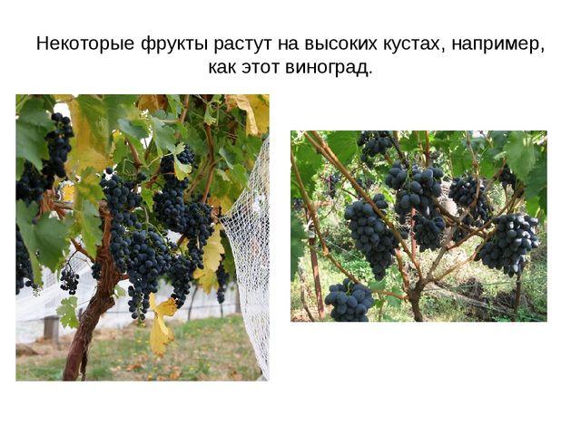 Некоторые фрукты растут на высоких кустах, например, как этот виноград.