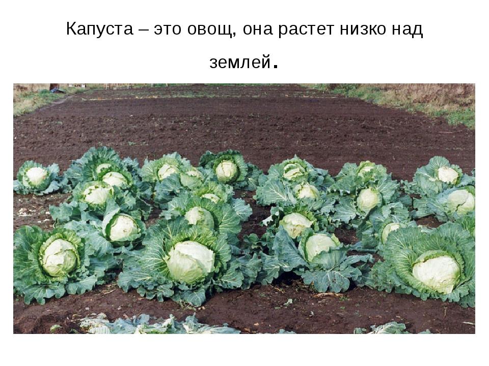 Капуста – это овощ, она растет низко над землей.