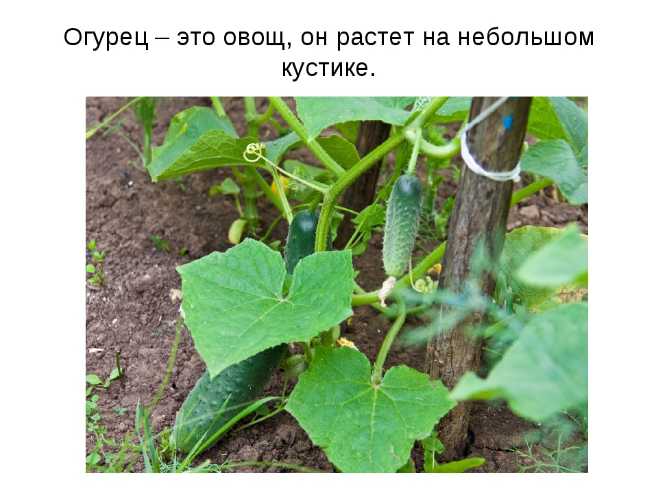 Огурец – это овощ, он растет на небольшом кустике.