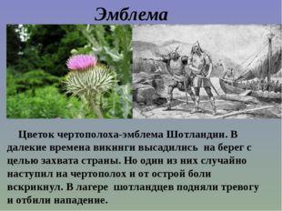 Цветок чертополоха-эмблема Шотландии. В далекие времена викинги высадились н