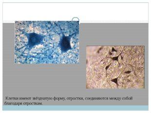 Клетки имеют звёздчатую форму, отростки, соединяются между собой благодаря о