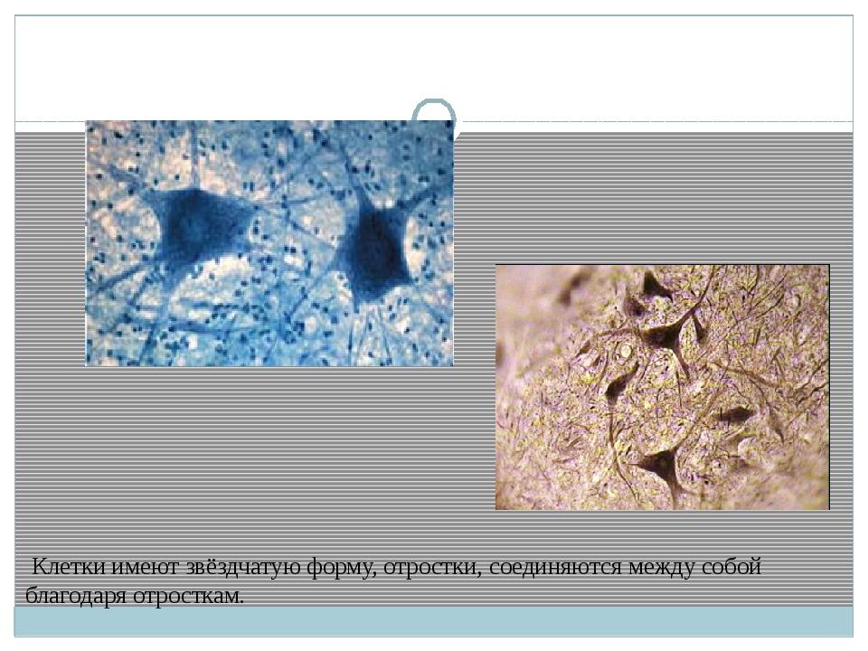 Клетки имеют звёздчатую форму, отростки, соединяются между собой благодаря о...