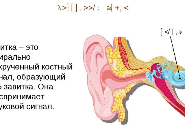 Внутренний отдел улитка Улитка – это спирально закрученный костный канал, обр...