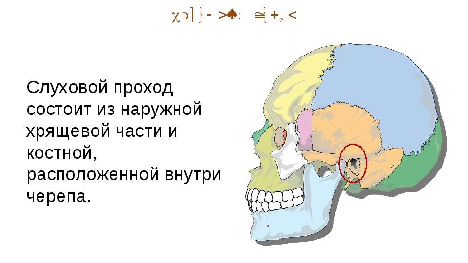 Наружный отдел Слуховой проход состоит из наружной хрящевой части и костной,...