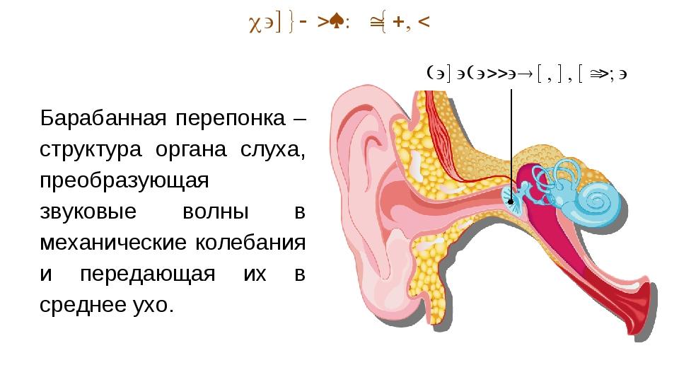 Наружный отдел Барабанная перепонка – структура органа слуха, преобразующая з...
