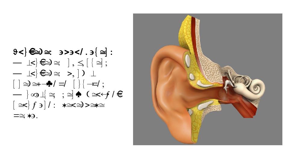 Слуховой анализатор: — слуховой рецептор; — слуховой нерв с проводящими путям...