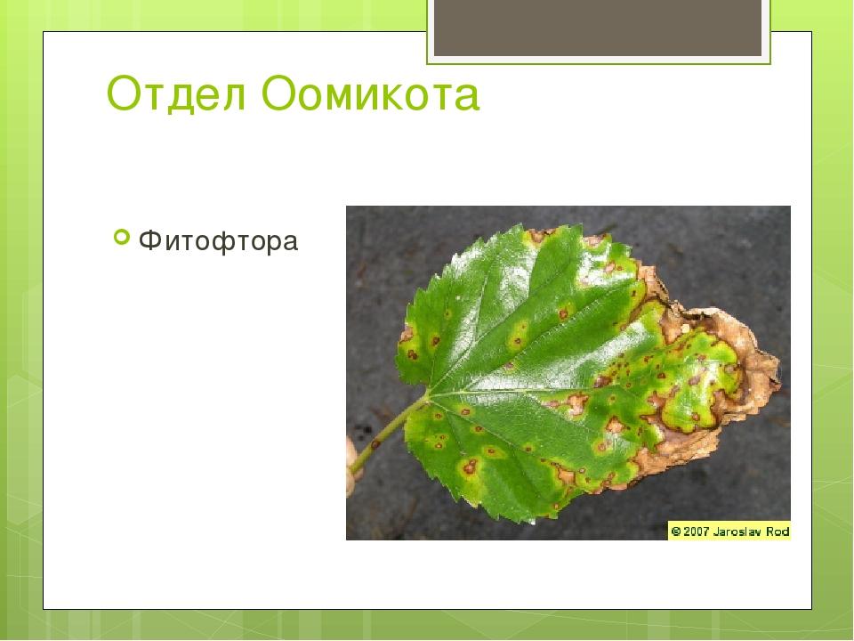 Отдел Оомикота Фитофтора