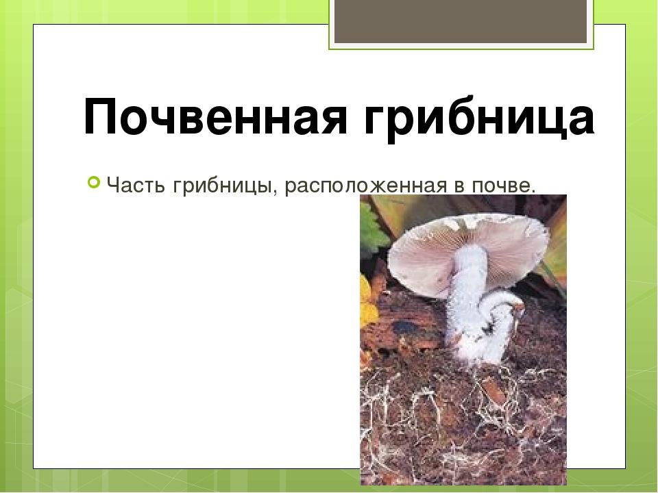 Часть грибницы, расположенная в почве. Почвенная грибница