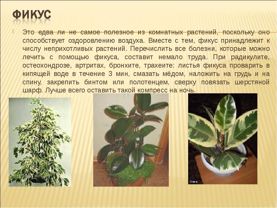 Это едва ли не самое полезное из комнатных растений, поскольку оно способству...