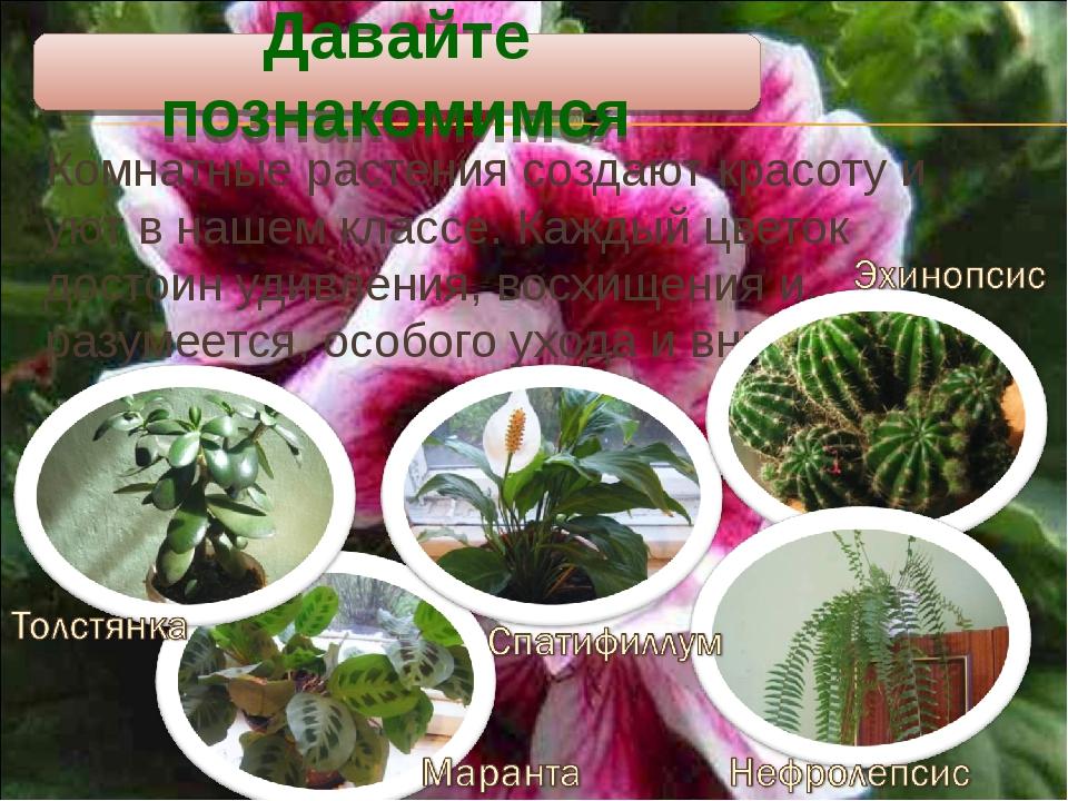 Комнатные растения создают красоту и уют в нашем классе. Каждый цветок достои...