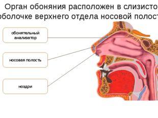 Орган обоняния расположен в слизистой оболочке верхнего отдела носовой полост