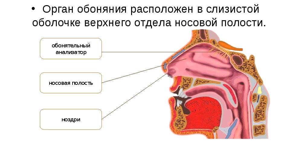 Орган обоняния расположен в слизистой оболочке верхнего отдела носовой полост...
