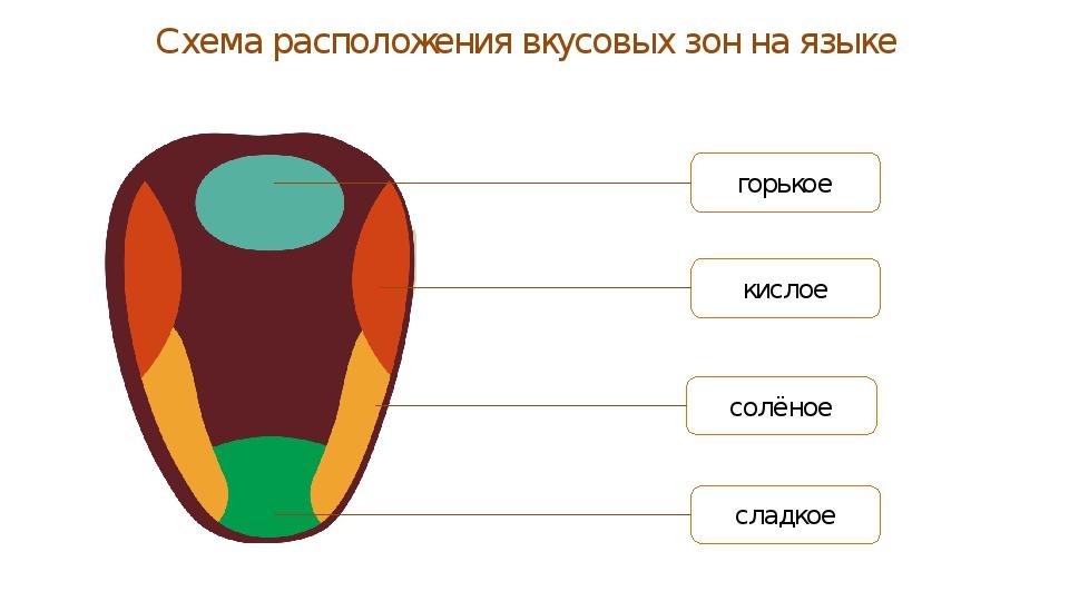 Схема расположения вкусовых зон на языке
