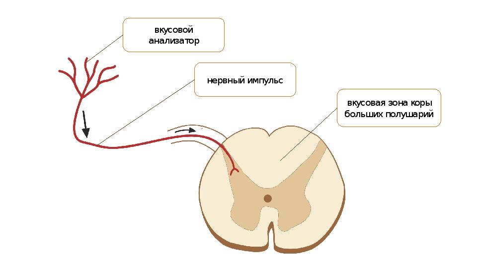 вкусовой анализатор нервный импульс вкусовая зона коры больших полушарий