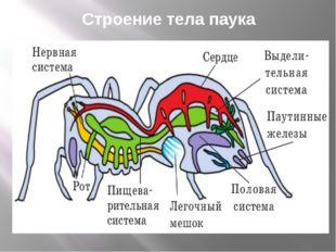 Строение тела паука
