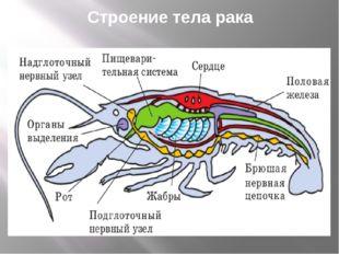 Строение тела рака
