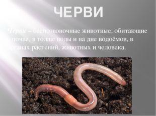 ЧЕРВИ Черви – беспозвоночные животные, обитающие в почве, в толще воды и на д