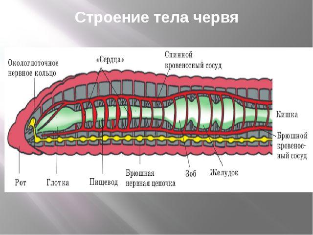 Строение тела червя