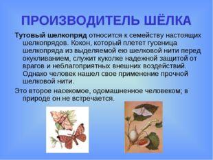 ПРОИЗВОДИТЕЛЬ ШЁЛКА Тутовый шелкопряд относится к семейству настоящих шелкопр