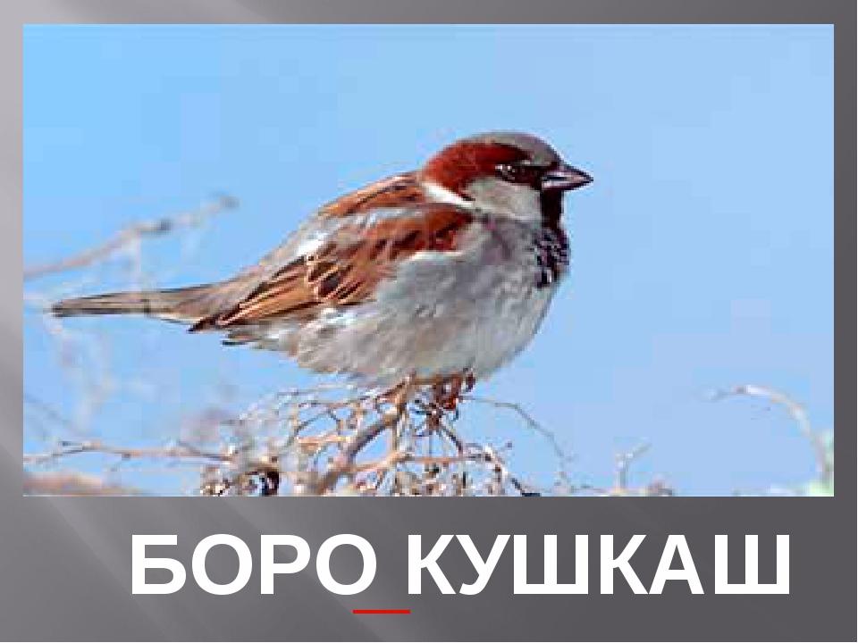 БОРО КУШКАШ