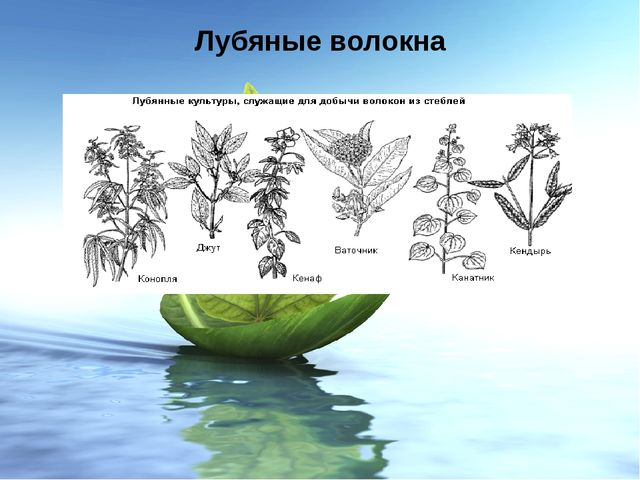 Лубяные волокна Лубяные волокна – это волокна, получаемые из стеблей и листье...