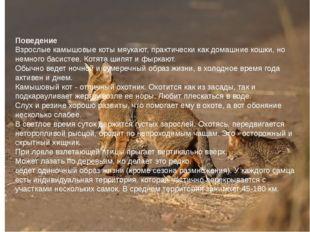 Поведение Взрослые камышовые коты мяукают, практически как домашние кошки, но