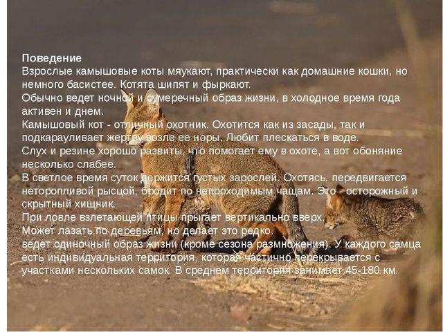 Поведение Взрослые камышовые коты мяукают, практически как домашние кошки, но...