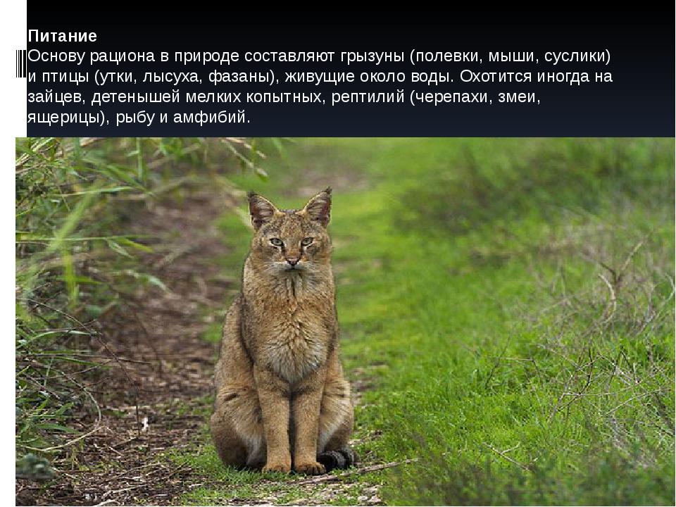 Питание Основу рациона в природе составляют грызуны (полевки, мыши, суслики)...