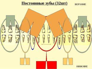 Постоянные зубы (32шт) ВЕРХНИЕ НИЖНИЕ