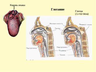 1.Ферменты - биологически активные белковые вещества, которые катализируют х
