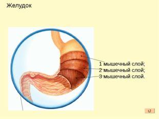 Желудочный сок вырабатывается многочисленными железами слизистой оболочки. 1к