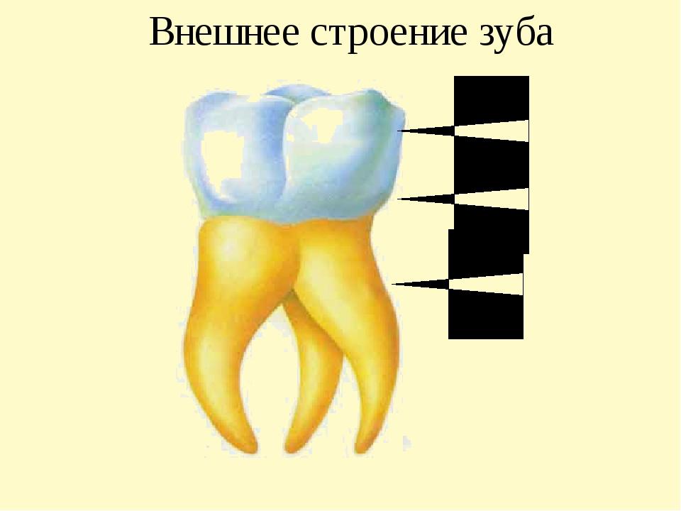 Внешнее строение зуба