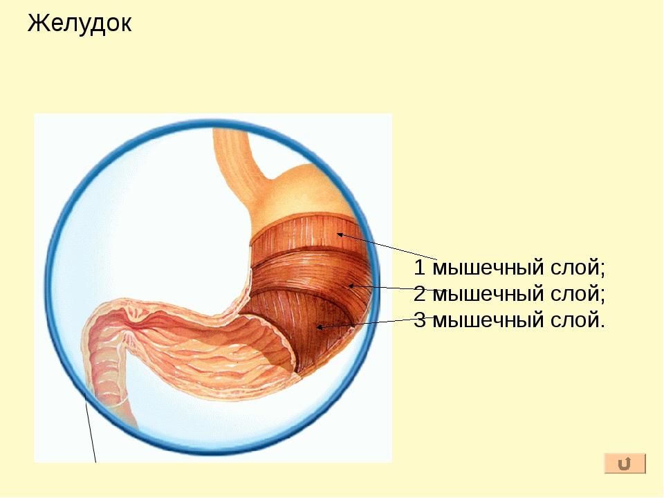 Желудочный сок вырабатывается многочисленными железами слизистой оболочки. 1к...