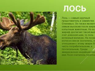 ЛОСЬ Лось — самый крупный представитель в семействе Оленевых. Он также являет