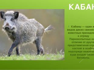 КАБАН Кабаны — один из видов диких свиней. Эти животные принадлежат к отряду