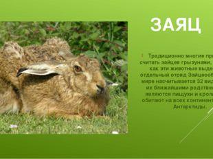 ЗАЯЦ Традиционно многие привыкли считать зайцев грызунами, между тем как эти