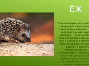 ЁЖ Ежи — мелкие насекомоядные млекопитающие, чей образ хорошо всем известен.