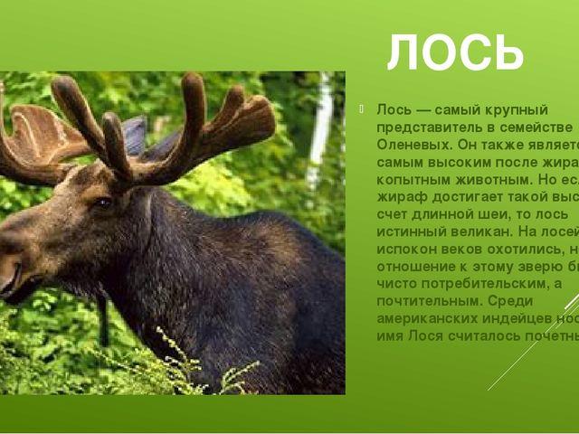 ЛОСЬ Лось — самый крупный представитель в семействе Оленевых. Он также являет...
